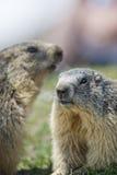 Deux Marmot tout en combattant Photographie stock
