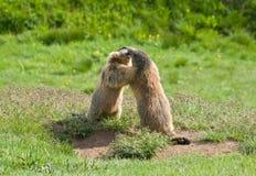 Deux marmottes Photographie stock