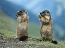 Deux marmottes Images stock