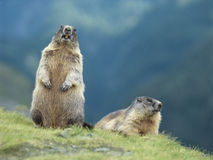 Deux marmottes Photo stock