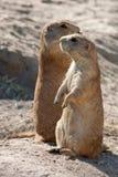 Deux marmottes Photo stock