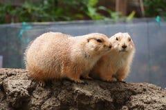 Deux marmottes Photos stock