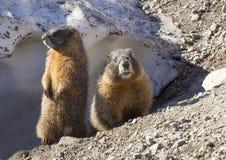 Deux marmottes Image libre de droits