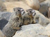 Deux marmottes Jaune-gonflées par jeune Photo libre de droits