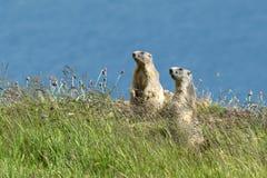 Deux marmottes sur l'alerte Images libres de droits