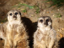 Deux meercats, Wroclaw, Pologne Images stock