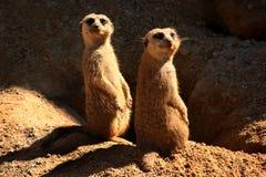 Deux Meerkats Image libre de droits