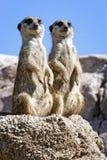 Deux meerkats coupés la queue minces Photographie stock libre de droits