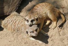 Deux Meerkats de caresse Images libres de droits