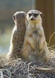 Deux Meerkats de nouveau au dos Photo stock