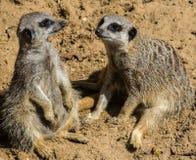 Deux Meerkats se reposant sur le parement de sable Photos stock