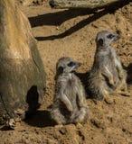 Deux Meerkats se reposant sur le sable Photographie stock