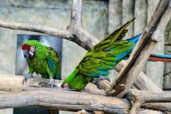 Deux millitaris verts d'arums de perroquets mangeant d'une cuvette, foyer o Photographie stock libre de droits