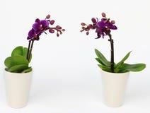 Deux mis en pot d'orchidée de Phalaenopsis d'isolement Image stock