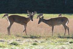Deux mâles de cerfs de Virginie Image stock