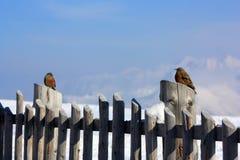 Deux moineaux sur la frontière de sécurité en bois Photographie stock libre de droits
