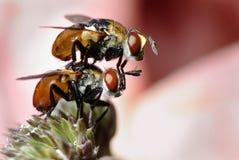 Deux mouches Photographie stock libre de droits