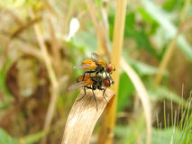 Deux mouches Image stock