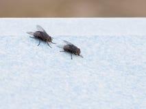 Deux mouches Photographie stock