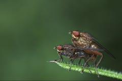 Deux mouches accouplant l'instruction-macro Photos stock