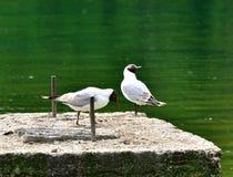 Deux mouettes à tête noire près du lac Photos libres de droits