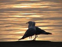 Deux mouettes au lever de soleil Images stock
