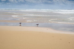 Deux mouettes se tenant dans l'eau peu profonde Photo libre de droits