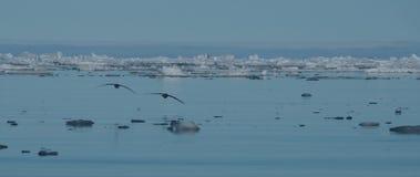 Deux mouettes silhouettées au-dessus de la glace de mer arctique Images libres de droits