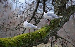 Deux mouettes sur le branchement d'arbre Image stock