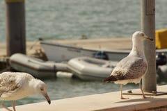 Deux mouettes - vue de face - Algarve - le Portugal photo stock
