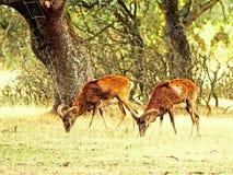 Deux mouflons frôlant sur une forêt espagnole photo libre de droits