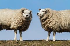 Deux moutons Photos stock