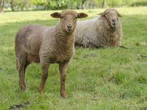 Deux moutons Photo stock