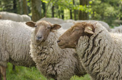 Deux moutons Photos libres de droits
