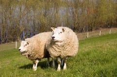 Deux moutons Photo stock