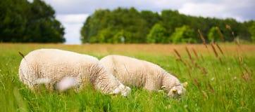 Deux moutons adultes frôlant dans un pâturage de ressort Image libre de droits