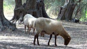Deux moutons dans un verger olive banque de vidéos