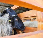 Moutons Photographie stock libre de droits