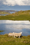 Deux moutons en Ecosse Photo stock