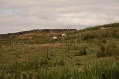 Deux moutons et une chèvre photos stock