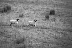 Deux moutons faits face noirs à une ferme de champ Images libres de droits
