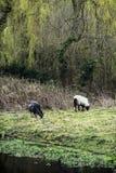 Deux moutons frôlant dans la campagne anglaise Photographie stock libre de droits