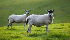Deux moutons frôlant dans un domaine Photographie stock