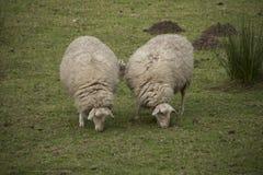 Deux moutons mangeant dans le pré Photographie stock libre de droits