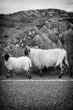 Deux moutons marchant sur la rue en Ecosse Photographie stock libre de droits