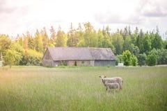 Deux moutons ont perdu du troupeau se tenant au milieu du pré Image libre de droits