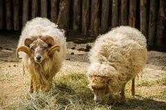 Deux moutons ouessant Image stock