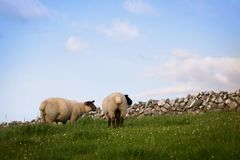 Deux moutons se tenant dans un pâturage images stock