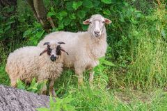 Deux moutons sur le pâturage frôlent près du bosquet photographie stock