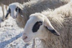 Deux moutons sur le pré neigeux en hiver Images stock